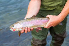 Catch and Release Native Rainbow Redside Trout Stock Photo