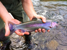 Catch and Release Native Rainbow Redside Trout Royalty Free Stock Photography