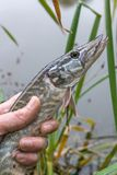 Catch and release. Small Freshwater pike in hand got a freedom. Freshwater Northern pike fish know as Esox Lucius in mans hand. Fishing concept, catch and royalty free stock photo
