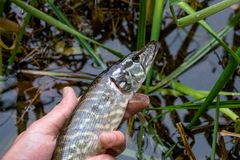Catch and release. Small Freshwater pike in hand got a freedom. Freshwater Northern pike fish know as Esox Lucius in mans hand. Fishing concept, catch and royalty free stock photos