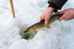 Catch and release small pike rule under winter fishing. Fisherman hands releasing fish into ice hole, closeup. Royalty Free Stock Photos