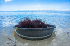 The catch of sea urchins Stock Image