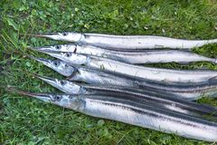 A catch of silvery garfish on the lawn. Fresh fish with big eyes. Denmark, May, 2017 Stock Photo