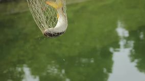 Catch a struggling fish. A fish caught in the net stock footage