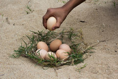 Catch The Eggs From The Nest Of A Chicken,Chicken S Nest Made O