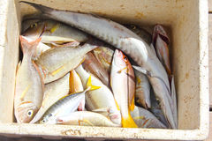 Catch of tropical fish Royalty Free Stock Photos