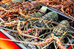 Catch of tropical rock lobsters royalty free stock photography
