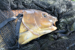 Catched carp Royalty Free Stock Images