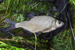 Catched fish (Abramis Brama). On the bank in drop net Stock Photos