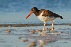 The catcher. Oyster-catcher patrols the shores of Florida Stock Image