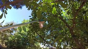 Apples on apple tree with blue sky. Catching apples on apple tree with stick and blue sky stock footage