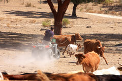 Catching a calf with lariat in Alentejo, Portugal Royalty Free Stock Images