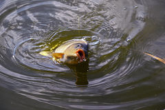 Catching carp bait in the water close up Stock Photo