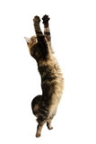 Catching cat Royalty Free Stock Photos