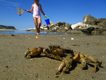 Catching crabs Royalty Free Stock Image