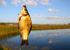 Catching crucian on lake background Stock Photo