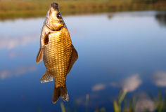 Catching crucian on lake background Stock Images