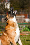 Catching dog. Big dog catching dry dog food (medication/drug) at outdoor. It has opened mouth and white teeth. Funny catch Royalty Free Stock Images