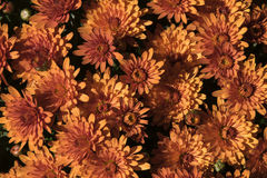 Catching the evening sun. Chrysanthemums catching the evening sun in a public garden  in new England Stock Image