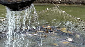 Catching fish in the fish farm stock video