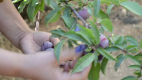 Catching fresh plums stock video