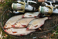 Catching freshwater fish and fishing rods with fishing reel. Royalty Free Stock Photography