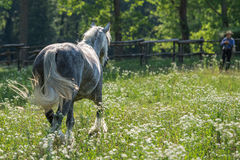Catching a gypsy cob in the field Stock Photos