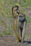 Catching a lift. Young Baboon riding on mother's back while eating some plant material Royalty Free Stock Photo