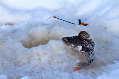 Winter perch fishing leisure Royalty Free Stock Image