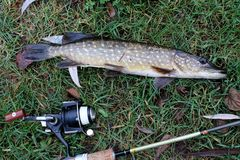 Catching a pike in the Netherlands royalty free stock photos