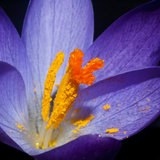 Catching Pollen. A close-up shot of an early flowering crocus stock photography