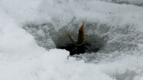 Catching ruffs. In winter under ice stock footage