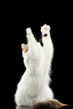 Catching Scottish Highland Straight Cat Raising paw, Isolated Black Background Stock Photos