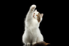 Catching Scottish Highland Straight Cat Raising paw, Isolated Black Background Royalty Free Stock Photography