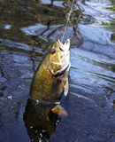 Catching a Smallmouth Bass Royalty Free Stock Photo