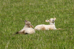 Catching Some Rays. Two lambs sunbathing with heads lifted towards the sun Stock Photos