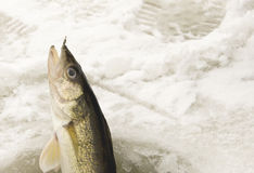 Catching a Walleye Ice Fishing Royalty Free Stock Images