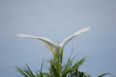 Catching Wind 2. A young great egret learning to fly Stock Photos