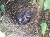 Catcod del pájaro fotos de archivo