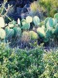 Catcus in Arizona Fotografia Stock