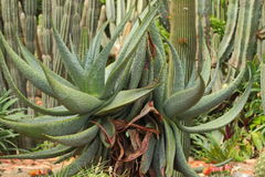 Cactus plants. This cactus plants alove vera is used to make various types of medicines royalty free stock images