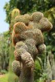 Cactus plants. Artistic bent fibrous lump of  cactus plant looking very beautiful and natural Stock Photos