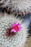 Catcus w kwiacie Obrazy Royalty Free