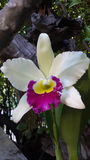 Cateleya orchidea Fotografia Stock
