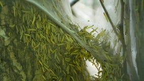 Catepillar蝴蝶幼虫慢行在树特写镜头的insige大网袋子 影视素材