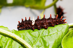 Catepillar of common rose butterfly on leaf Stock Photos