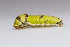 Catepillar de la mariposa de la cal (demoleus del papilio) Fotografía de archivo libre de regalías