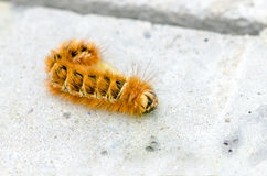 Catepillar or Hariy Caterpillar Stock Photography