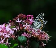 catepillar hypheh Liebe des Schmetterlingsblattes Lizenzfreie Stockfotos