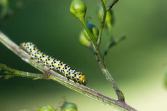 CATEPILLAR. In the nature in the wild royalty free stock photo